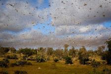 Malagasy Migratory Locust swarm. Image: FAO.